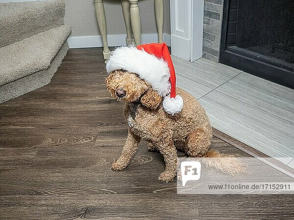 Mocha celebrating Christmas in Santa costume.