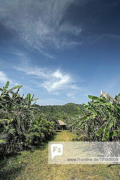 Blick auf Bananenplantage auf ländlicher Bio-Obstfarm in der Nähe von Kampot Kambodscha an einem sonnigen Tag.