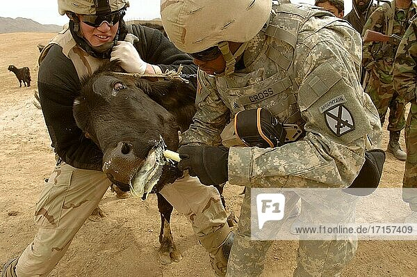 AFGHANISTAN Khakeran -- 18 Mar 2006 -- Army Spcecialist Zachary Williams (left) takes the bull by the horns so Sgt Jared Cross can give him a dose of deworming medicine during a village medical outreach program in Khakeran village  Qalat province  Afghanistan  on March 18  2006. Williams is assigned to the 2nd Battalion (Airborne)  503rd Infantry Regiment and Cross is assigned to the 10th Mountain Support Battalion. US Army photo (Released) -- Picture by Leslie Angulo / Lightroom Photos / US Army.