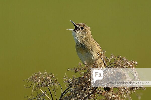 Common Grasshopper Warbler ( Locustella naevia ) in spring  singing loudly  courting  wildlife  Europe.