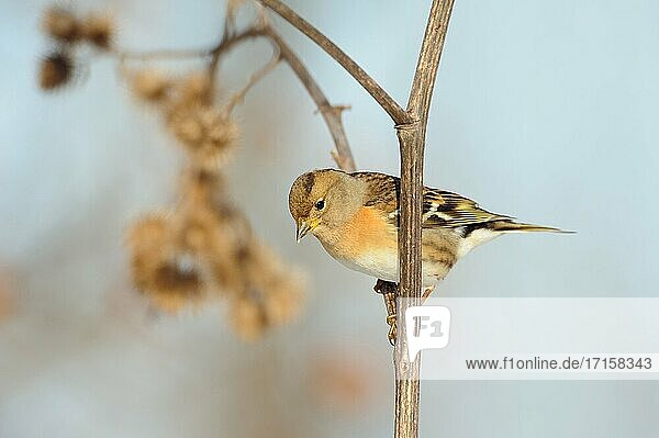 Brambling ( Fringilla montifringilla ) perched on the stem of a burdock  searching for food  seeds  wildlife  Europe.