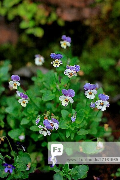 Garden pansy  a wildflower of europe and western asia