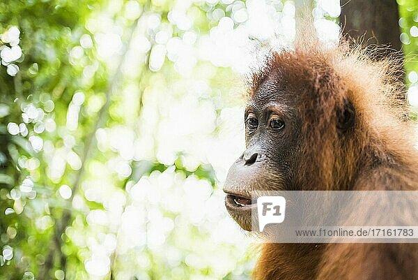 Orangutan (Pongo Abelii) in the jungle near Bukit Lawang  Gunung Leuser National Park  North Sumatra  Indonesia