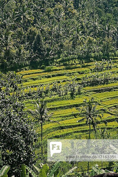 Palm Trees and Rice Paddies on Bali  Indonesia. This photo shows what exotic Bali is famous for  tropical palm trees that sprawl across the island and rice paddies that line its steep slopes.