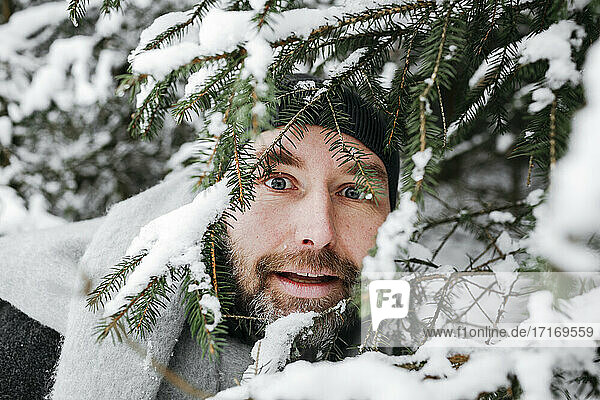 Curious man looking through snow covered pine twigs