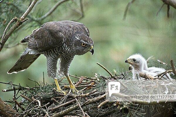 Habicht (Accipiter gentilis)  adult  Habicht-Männchen am Horst mit Jungvögel  das Männchen auch Sprinz genannt hat die typische Querbänderung des Federkleides eines Altvogels  Nordrhein-Westfalen  Deutschland  Europa