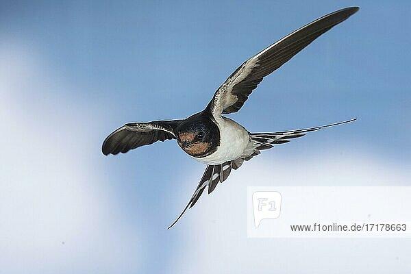 Rauchschwalbe (Hirundo rustica)  im Flug  Thüringen  Deutschland  Europa