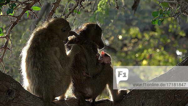 Africa  Botswana  Baboons grooming at dusk