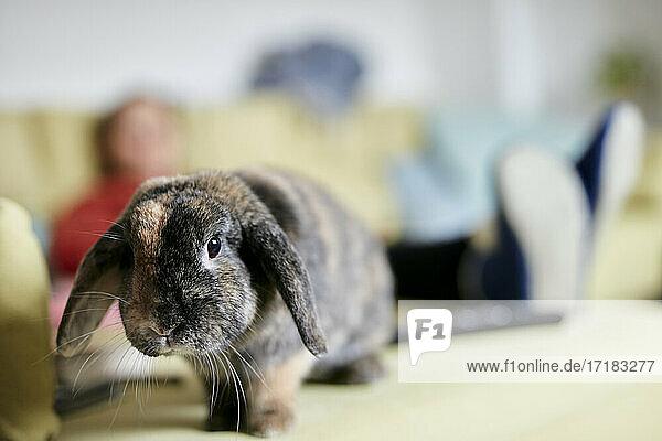 Portrait of pet house rabbit with floppy ears