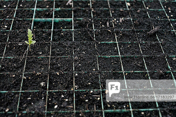 High angle close up of young plants in seed trays.