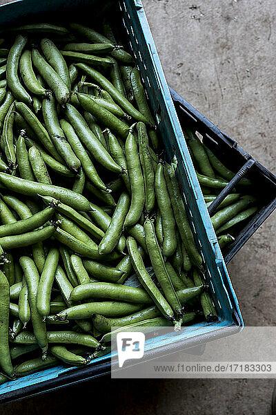 Nahaufnahme von frisch gepflückten grünen Bohnen aus hohem Winkel.