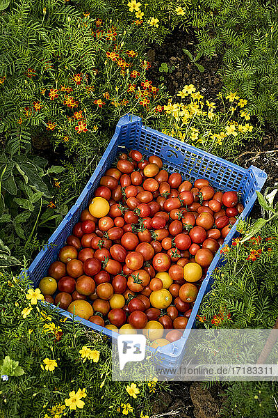 Hochwinkel-Nahaufnahme von frisch gepflückten Kirschtomaten in blauer Plastikkiste.