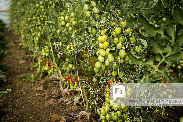 Hochformatige Nahaufnahme von grünen und reifen Tomaten am Rebstock.
