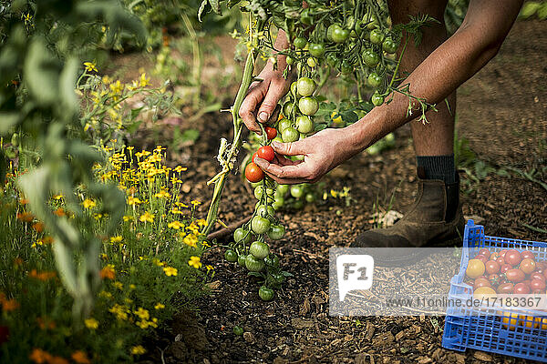 High angle close up of person picking cherry tomatoes on a farm.