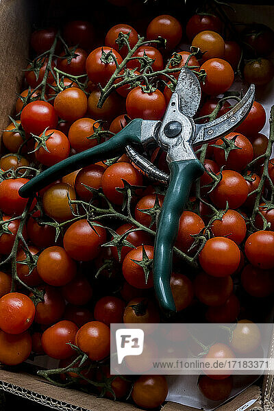 High angle close up of freshly picked tomatoes on the vine and a pair of secateurs.