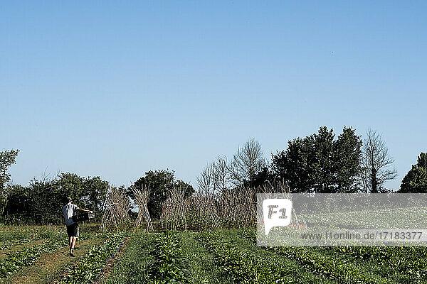 Man walking along vegetable field on a farm.