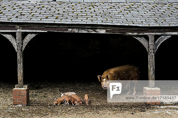 Tamworth sow with her piglets in an open barn on a farm.