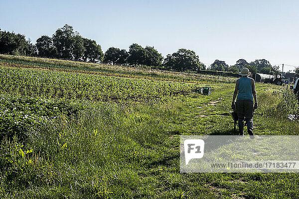 Rear view of woman pushing wheelbarrow past vegetable fields.