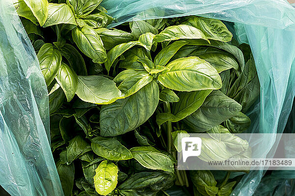 High angle close up of bag of freshly picked green basil.