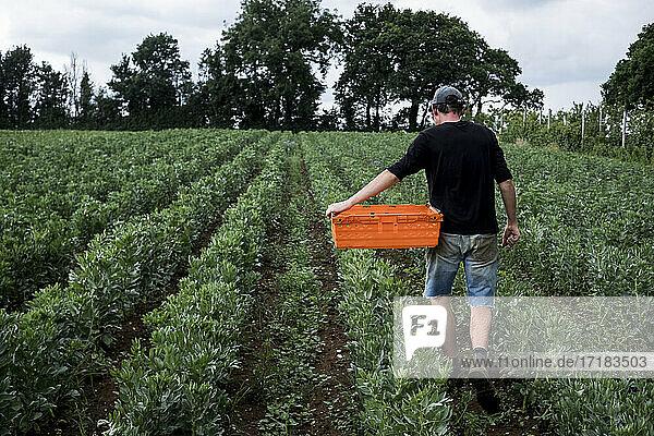 Man walking through a vegetable field  carrying orange plastic crate.