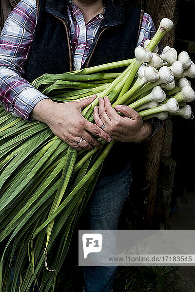 Close up of farmer holding bunch of freshly picked garlic.