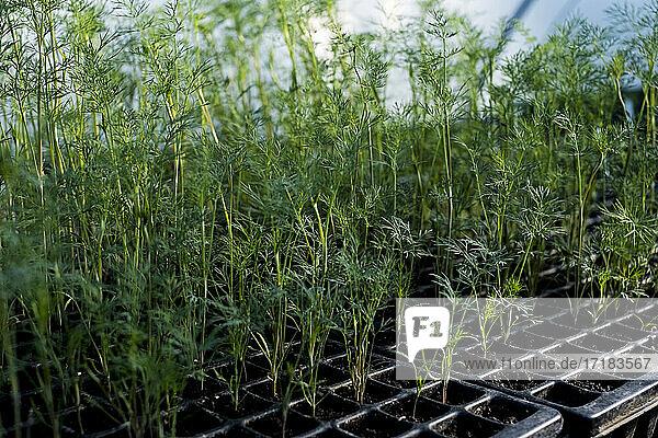 Nahaufnahme von jungen Möhrenpflanzen in der Saatschale aus hohem Winkel.
