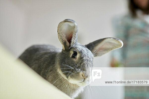 Porträt eines grauen Hauskaninchens