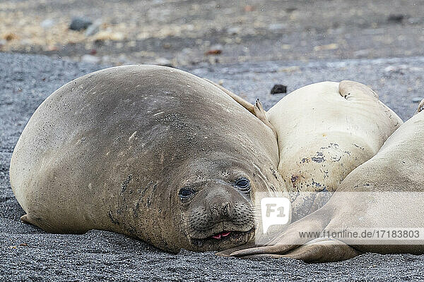 Southern elephant seals (Mirounga leonina)  hauled out on the beach  Barrientos Island  Antarctica  Polar Regions