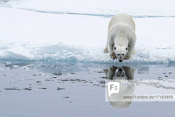 Adult polar bear (Ursus maritimus)  reflected in the sea on ice near Ellesmere Island  Nunavut  Canada  North America