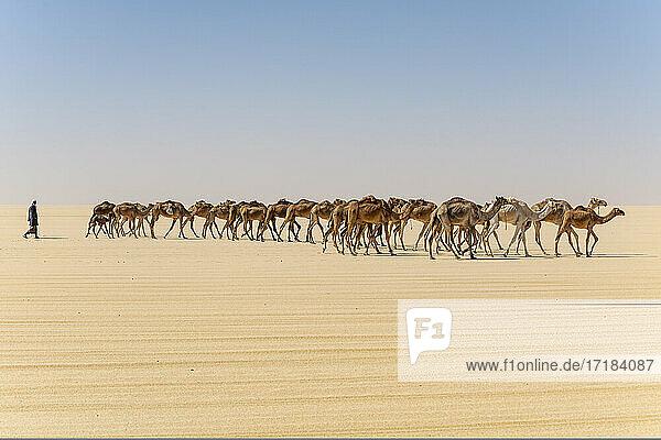 Camel caravan on the Djado Plateau  Sahara  Niger  Africa