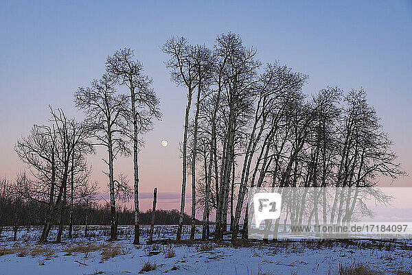 Full Moon and Aspen Grove during a Winter Sunset  Elk Island National Park  Alberta  Canada  North America