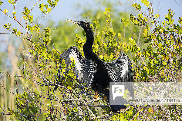 Adult male anhinga (Anhinga anhinga)  wings spread  in mangroves beside the Anhinga Trail  Everglades National Park  Florida  United States of America  North America