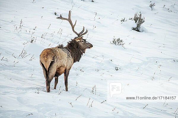 Bull elk (Cervus canadensis)  in the snow  Yellowstone National Park  UNESCO World Heritage Site  Wyoming  United States of America  North America
