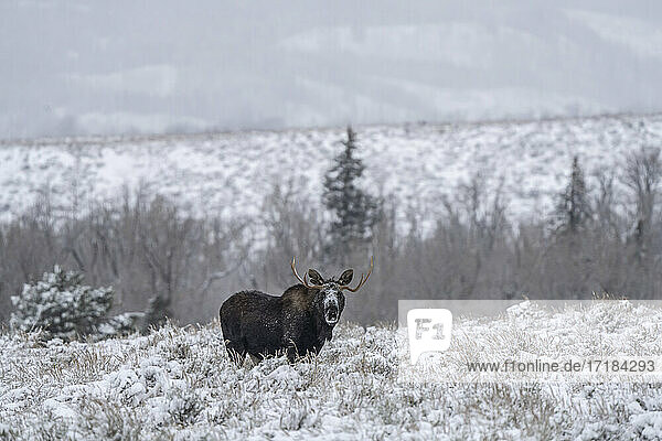 Bull moose (Alces alces)  in snow staring back  Grand Teton National Park  Wyoming  United States of America  North America