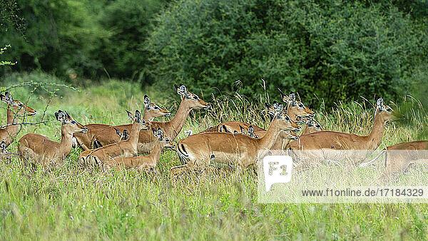 Impala (Aepyceros melampus)  Tsavo  Kenya  East Africa  Africa
