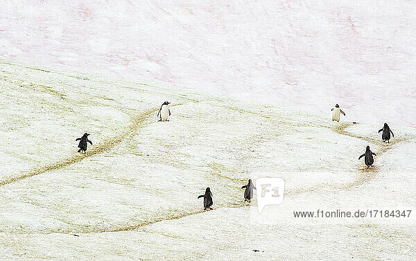 Gentoo penguins marching on trails through the ice  Antarctica  Polar Regions