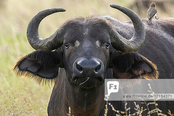 Cape buffalo (Syncerus caffer)  Tsavo  Kenya  East Africa  Africa