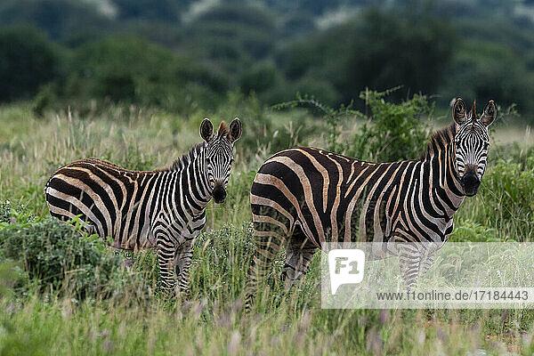 Grant's zebra (Equus quagga boehmi)  Tsavo  Kenya  East Africa  Africa