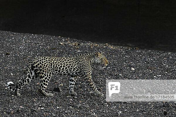 Leopard (Panthera pardus) female  Mashatu Game Reserve  Botswana  Africa
