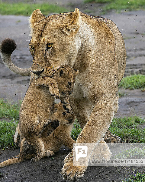 A lioness (Panthera leo) with its four week old cubs  Ndutu  Ngorongoro Conservation Area  Serengeti  Tanzania  East Africa  Africa