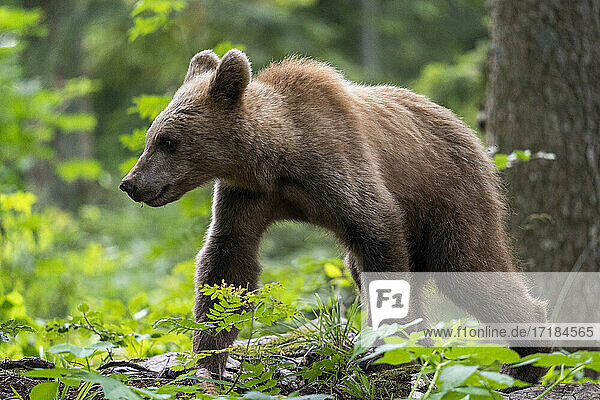 European brown bear (Ursus arctos)  Notranjska forest  Slovenia  Europe