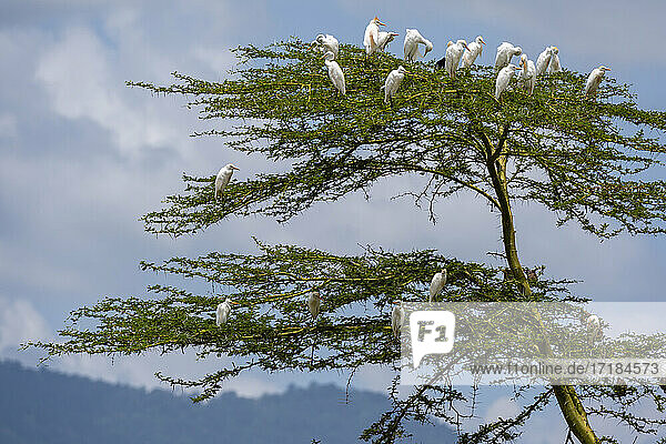 Cattle egrets (Bubulcus ibis)  Lake Jipe  Tsavo West National Park  Kenya  East Africa  Africa