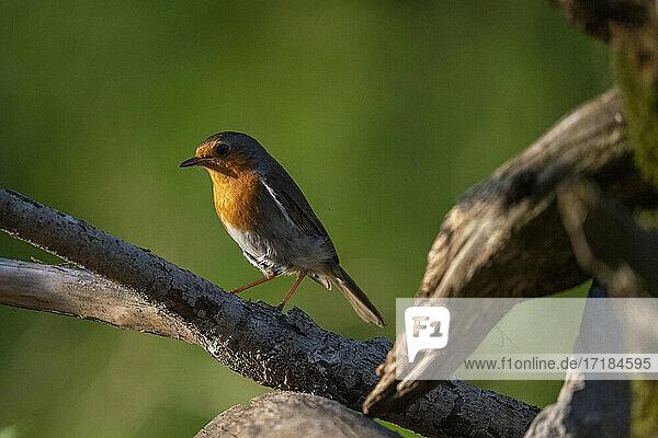 European robin (Erithacus rubecula)  Notranjska forest  Slovenia  Europe