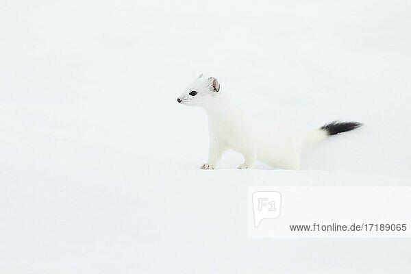 Hermelin (Mustela erminea) im Winterfell im Schnee  Kanton Zürich  Schweiz  Europa