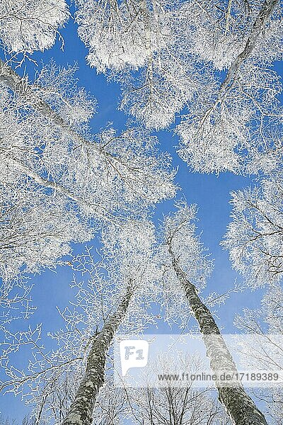 Baumkronen von tief verschneitem Buchenwald vor blauem Himmel im Neuenburger Jura  Winter  Schweiz  Europa
