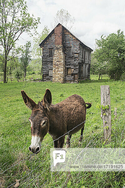 Scrappy Mules and Historic House in Rural WV