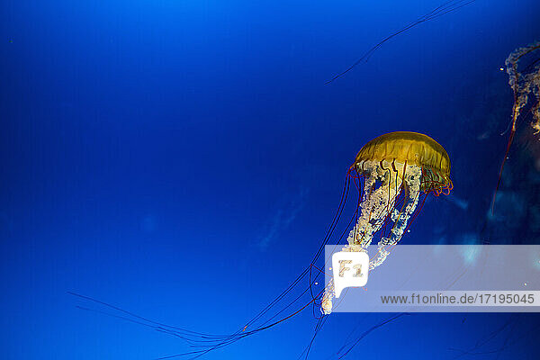 the box jellyfish can be deadly