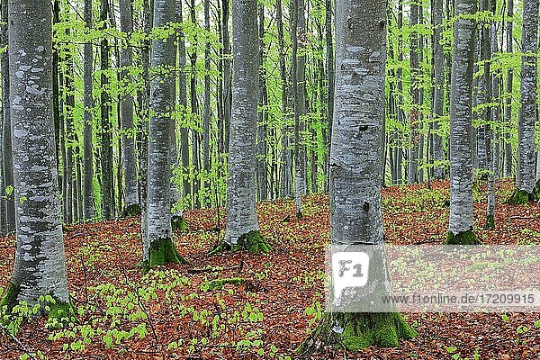 Buche  Buchengewächse (Fagaceae) (Fagus) Buchenwald  frisches Grün  neues Laub  Leibertingen  Naturpark Obere Donau  Baden-Württemberg  Deutschland  Europa