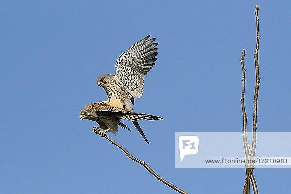 Turmfalken (Falco tinnunculus)  Paarung  Hessen  Deutschland  Europa