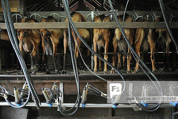 Ziegenzucht und Herstellung von Bio-Produkten aus Ziegenmilch